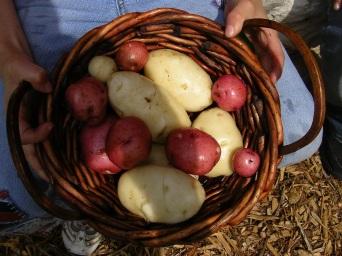 Potato project successful!